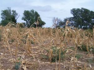 dead-crops